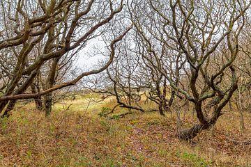 Knorrige Bäume an der Nordseeküste von Achim Prill