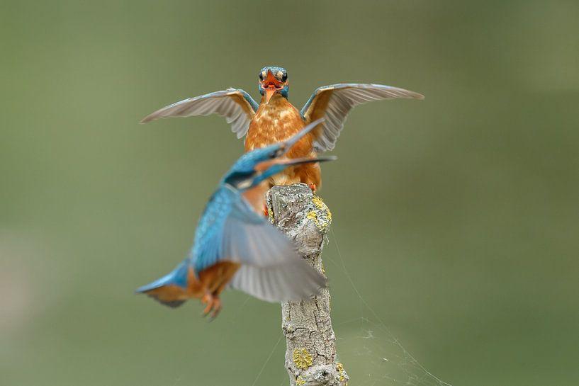 Een ijsvogel van Menno Schaefer