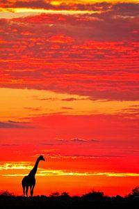 Giraffe im Sonnenaufgang, Namibia von