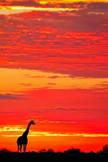 Giraffe im Sonnenaufgang, Namibia von W. Woyke