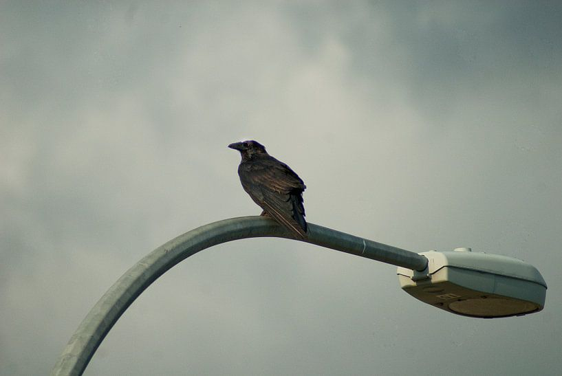 Raven on Quadra island van Eelko Lommers