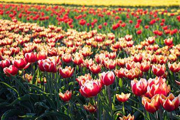 Twentse tulpen in Tubbergen van Renske Huiskes