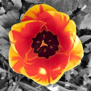 Tulpe von Erik Reijnders