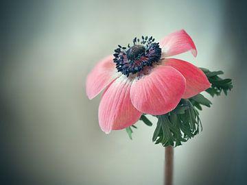 Anemoon roze van Ineke Nientied