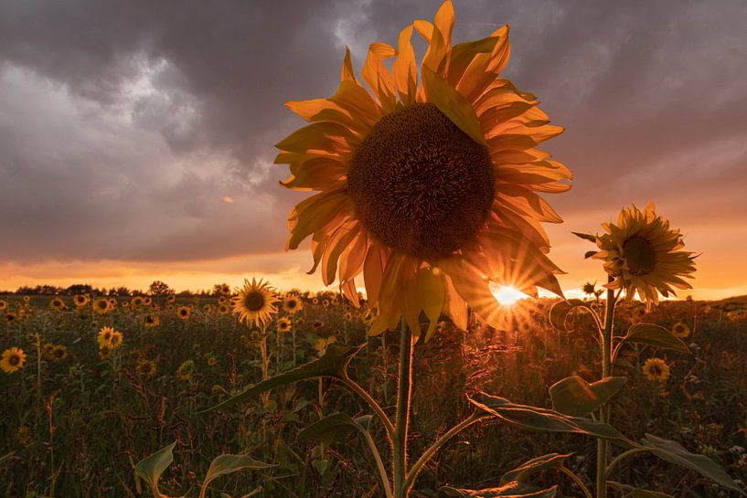 Zonnebloem, Zonsondergang van Klaas Doting