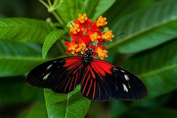 red butterfly van