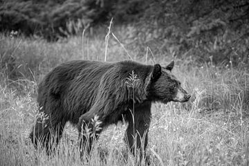 De zwarte beer van Noord-Amerika