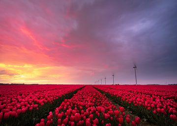 Tulipes sur Jeroen Linnenkamp