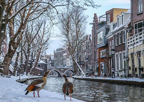 Twee nijlganzen kijken uit over de besneeuwde kades van de Oudegracht in Utrecht