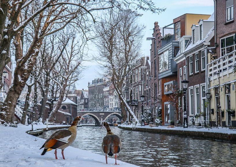 Two egyptian geese look out over the snow covered waterside of the Old Canal, Utrecht, the Netherlan sur Arthur Puls Photography