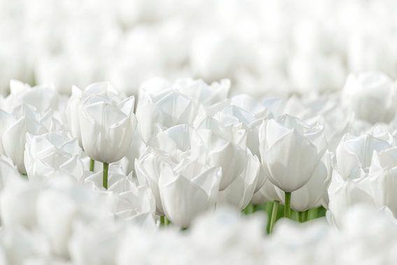 Witte Tulpen van Sjoerd van der Wal