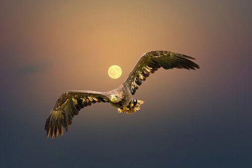 Europese Zeearend vliegt tegen een oranje hemel met de zon recht achter zijn kop. Roofvogel met gesp