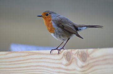Robin/Robin von Joyce Derksen