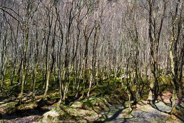 Berkenbomen van Peter Schütte