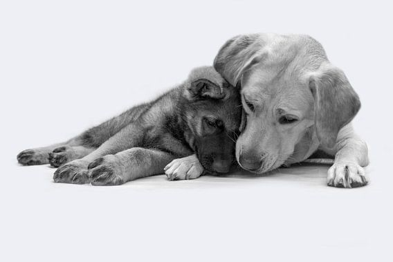 Labrador en herder pup liggen knus tegen elkaar