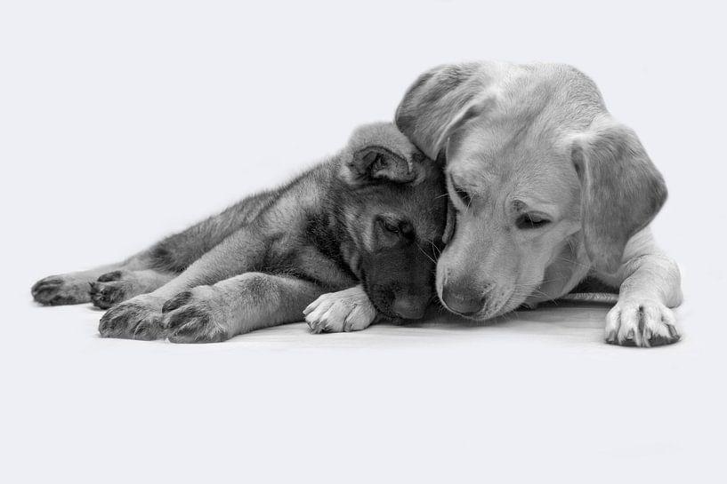 Labrador en herder pup liggen knus tegen elkaar van Michar Peppenster