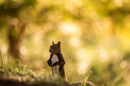 Eekhoorn von Bart Vodderie