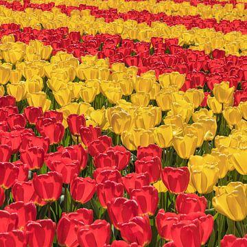 Blühende Tulpenfelder im Frühling, Niederlande von Markus Lange