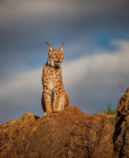Lynx op de top van een heuvel