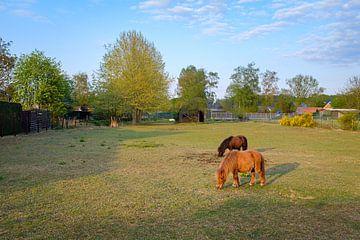 Mini Ponies in weide van Johan Vanbockryck