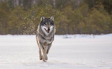 Wolf sur Claudia van Zanten