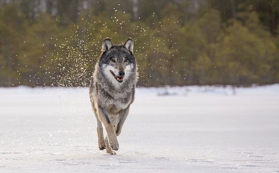 Wolf von Claudia van Zanten
