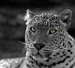Panther`s eyes