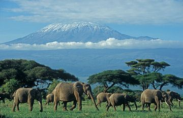 Afrikaanse olifant van paul van Gaalen