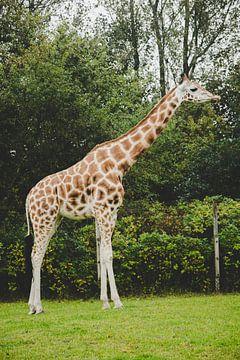 Giraffe van Mêgan Nauta