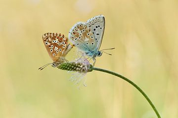 Paarung Silbergrüner Bläuling  von Francois Debets