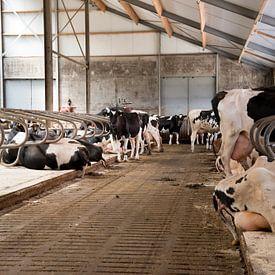 Koeien van Lindsey Post