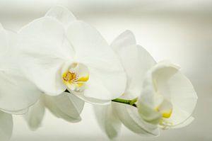 Tak van de witte bloemen van de orchidee Phalaenopsis