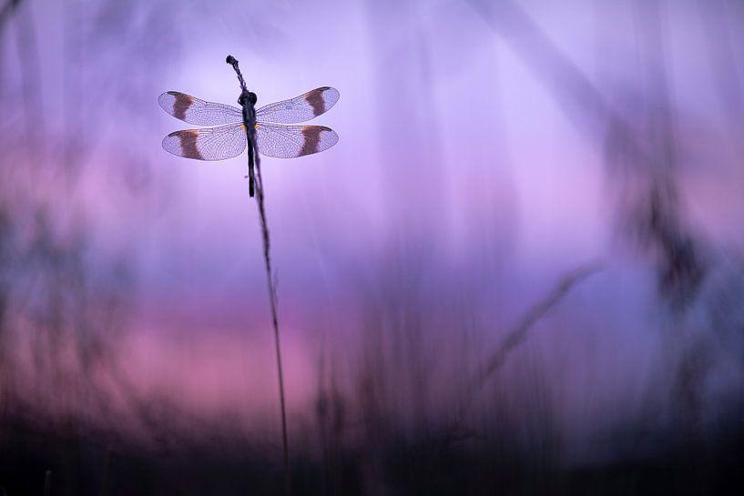 Bandheidelibel rond zonsopkomst van Erik Veldkamp