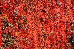 Rotes Weinlaub