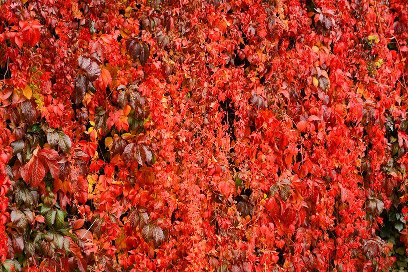 rode wijnbladeren van Gisela Scheffbuch