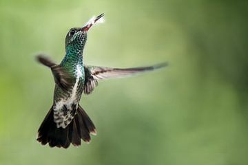 Vliegende Kolibrie met een mooie achtergrond van