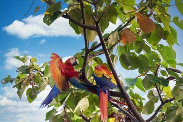 Papageien in Costa Rica von Tilo Grellmann | Photography