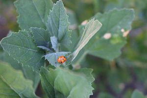 Lieveheersbeestje op een blad