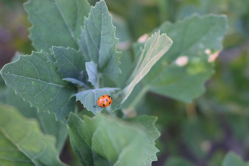 Lieveheersbeestje op een blad van Rosalie Broerze