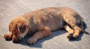 Tibetaanse hond sur