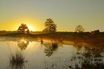 Hooglanders bij zonsopkomst van
