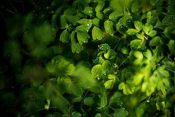 Druppels op groene blaadjes van Manja Herrebrugh - Outdoor by Manja