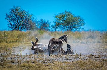 Zebra moeder demonstreert de wasbeurt van