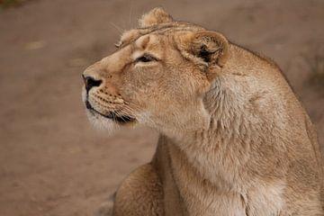 Halbprofil-Portrait, fragwürdig gefährlich. Das löwenlose Weibchen ist eine große räuberische, stark von Michael Semenov