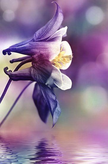 Akelei van Violetta Honkisz