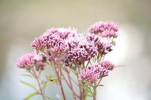 Roze bloemen von Janjaap Van Dijk