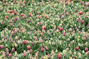 Duizend Tulpen van Erik Reijnders