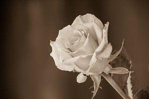 Rose Sépia sur Devlin Jacobs