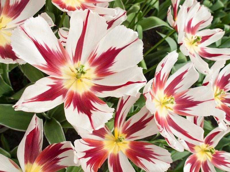 Show Tulip Red and White van David Hanlon