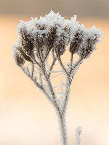 IJskristallen op een bevroren schermbloem
